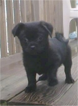 Front view - A black Pug-a-Poo puppy is walking across a wooden surface and it is looking forward. Its front right paw is in the air and its tail is curled up over its back.