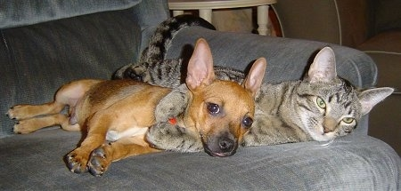 A cat and a dog on a blue couch. A shorthaired, brown Rat-Cha puppy is laying on its right side and behind it is a gray tiger cat laying on its right side with its paws wrapped around the dogs neck. The cat and the dog have similar shaped perk ears, although the dog's ears are slightly larger.