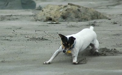 Front side view action shot - A white with black and tan Rat Terrier is sliding across beach sand and it is looking to the right.