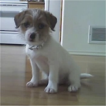 View from the front - A white with tan Ratshi Terrier dog is sitting on a hardwood floor in a kitchen.