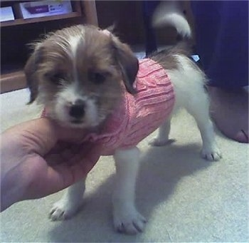 Front side view - A white with tan Ratshi Terrier puppy is wearing a pink sweater standing on a tan carpet looking forward. A person is rubbing the chest of the puppy. The dog's tail is wagging.