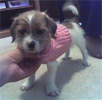 Shih Tzu Terrier Mix