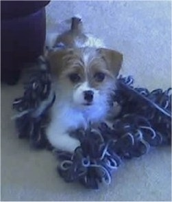 A wiry-looking white with tan Ratshi Terrier puppy is laying on an unraveled ball of blue and white yarn looking up.