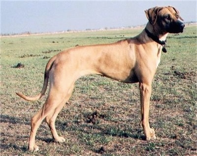 Riana, the Rhodesian Ridgeback at about 3 years old