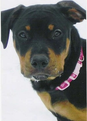 Close up head shot - A black with tan American Pitbull Terrier/Rottweiler mix puppy is wearing a hot pink collar standing in snow looking forward. It has snow on its mouth.