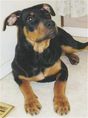 Pittweiler Dog Breed Information And Pictures - Terrier and rottweiler