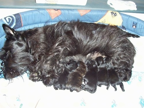 A black Scottish Terrier is laying on its side in a dog bed and under the dog is a litter of black Scottish Terrier puppies that are drinking milk.