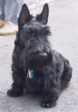Poochini, the Scottish Terrier