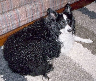 A thick, fat, curly coated, black with white Sheltidoodle is laying across a carpet and it is looking to the right. The dog has shorter hair on its face and perk ears.