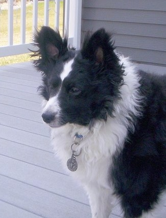 Front side view - A thick-coated, black with white Sheltidoodle dog standing on a gray deck outside of a house and it is looking to the left. It has perk ears, a thick coat with shorter hair on its face and a black nose.