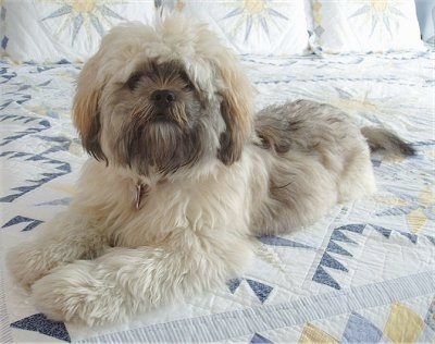 A thick, soft, long coated, tan with black and brown Shih Apso is laying across a bed and it is looking forward. The dog has a lighter body and a dark face and tips of its ears with some black on its back.