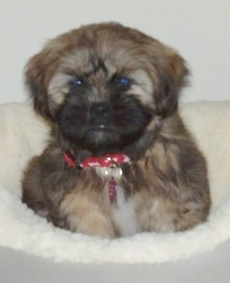Close up - A thick coated, soft-looking, black and brown with white Shih Apso puppy is laying on a dog bed and it is looking forward.