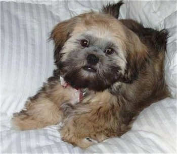 A thick coated, blak and brown with white Shih Apso is laying on a couch and it is leaning against a pillow. The dog's face looks like an Ewok from Star Wars.