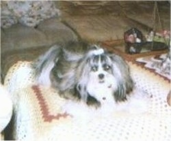 A long haired, grey with white Shih Apso dog is laying on top of a knit afghan blanket that is on top of an ottoman. It has a ribbon in its top knot.