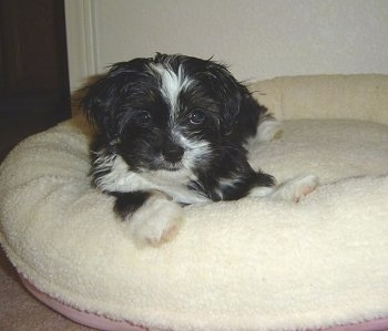 A little fluffy black with white and tan Shih Apso puppy is laying on a tan dog bed and it is looking forward.