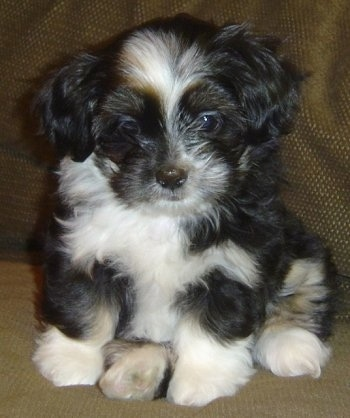 Coco, the Lhasa Apso-Shih Tzu mix (Shih Apso) at 9 weeks old