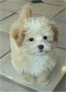A fluffy little tan with white Shih-Poo puppy is laying on a tiled floor and it is looking forward.