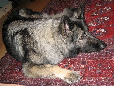 Close up - A black and grey with tan Shiloh Shepherd is laying down on a red rug and it is looking to the right.
