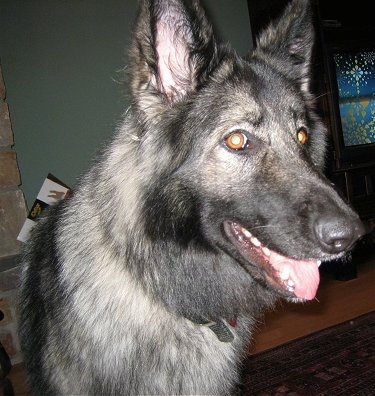 Close up head shot - A black and grey with tan Shiloh Shepherd dog standing on a rug and it is looking to the right. Its mouth is open and its tongue is sticking out.