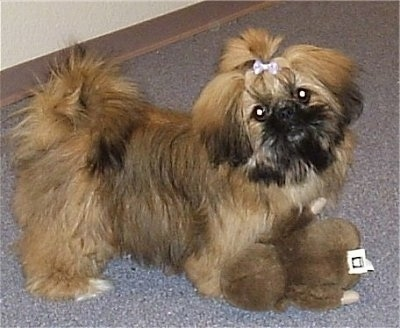The right side of a thick coated brown and black Shinese puppy that has a pink ribbon in its hair, it is looking forward, its head is slightly tilted to the left and there is a plush teddy bear in front of it.