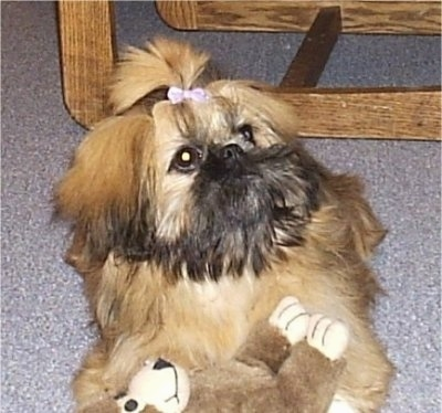 Close up front view - A brown and black with white Shinese puppy is laying on a carpet, it has a pink ribbon in its hair, it is looking up and to the right. There is a plush monkey under it.