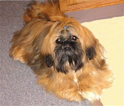 A longhaired brown with black and white Shinese dog is laying across carpet, it has a blue rubber band in its head, it is looking up and forward. Its body is reddish tan and its face is black. It has black tips on its brown ears and a blue band in its top knot.