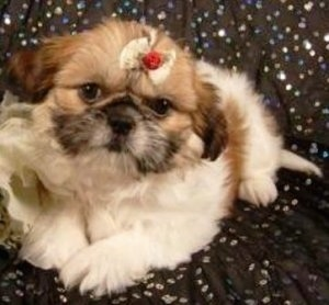 Shinese Puppy (Pekingese / Shih Tzu mix)