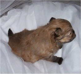 3 week old Shiranian puppy (Pomeranian / Shih Tzu cross)