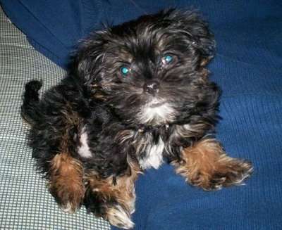 Ziggy, a Shorkie Tzu (Shih Tzu-Yorkie mix) puppy at 11 weeks old and 3