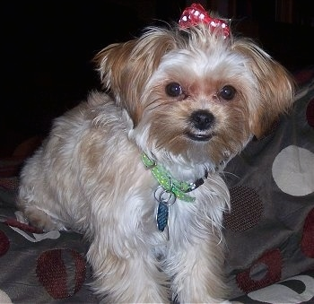 Front view - A tan with brown Shorkie Tzu puppy is wearing a red polkadot bow in its hair, it is looking forward and it is laying across a bed. It has long soft looking fur, a black nose, black lips and round black eyes.