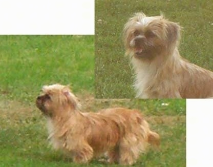 A tan with white Shorkie Tzu is standing on a grass surface and it is looking to the left. There is another image overlayed in the top right of a head shot of the same dog sitting in grass panting and looking to the left.