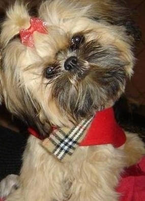 Close up front view - A tan with black Shorkie Tzu puppy wearing a red with tan, black and white scarf, with its head tilted to the left looking forward. It has a red bow holding the hair out of its eyes. Its nose is black and its round black eyes are wide.