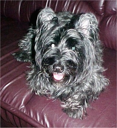 Close up - A shiny coated, black Skye Terrier dog laying across a red leather couch, it is looking forward, its mouth is slightly open and it looks like it is smiling.