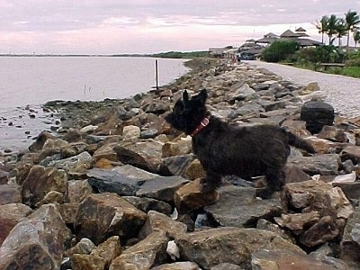 The left side of a black Skye Terrier dog standing across a pile of rocks along the bank of a shoreline  looking out at a body of water to the left of it. There are palm trees in the distance.