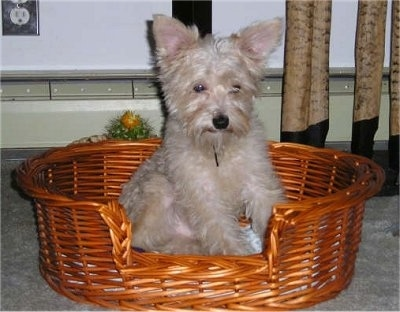 A tan Snorkie dog is sitting on a wicker basket and it is looking down. It has large perk ears.
