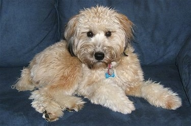 The right side of a tan with black Soft Coated Wheaten Terrier that is laying across a blue couch and it is looking forward. It has a wavy, thick coat.