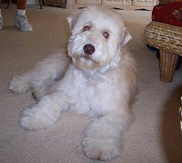 A tan and white Soft Coated Wheaten Terrier puppy is laying on a carpet, it is looking forward and its head is slightly tilted to the right. It has wide yellow eyes.