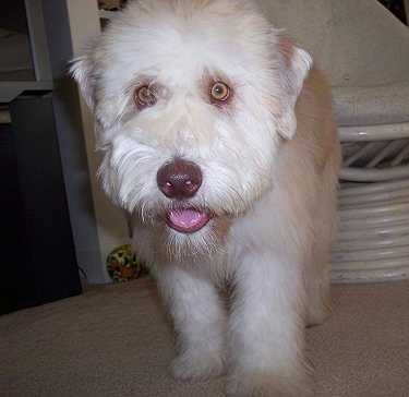 Close up - A tan and white Soft Coated Wheaten Terrier puppy is standing on a carpet, it is looking forward, its mouth is open and its tongue is slightly sticking out. It has a shiny brown nose and wide round yellow eyes.