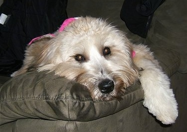 Close up - A tan with black Soft Coated Wheaten Terrier has its head down on the back of a couch. It has wide round eyes and a black nose.