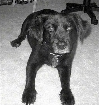 Malibu is a Cocker Spaniel / Lab mix (Spanador) shown here at 7 years old