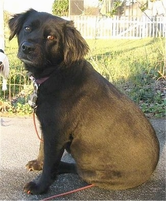 The right side of a black Spanador dog that is sitting across a blacktop surface, it is looking forward and its head is tilted towards the right. It has longer hair on its ears and wide brown eyes.