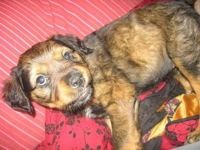 St. Bernard / Rottweiler mix puppy at 7 � weeks old