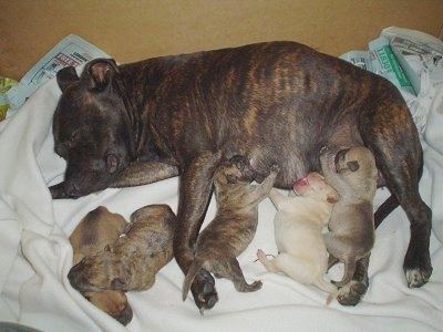 A brindle Stafordshire Bull Terrier dam is laying on her right side and on top of a blanket. She is feeding a litter of Staffordshire Bull Terrier/Shar Pei puppies.