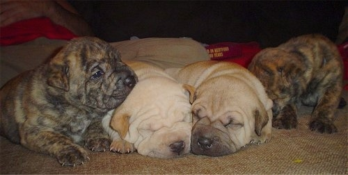 A litter of Staffordshire Bull Terrier/Shar Pei mix puppies are sitting and sleeping on a carpet lined up in a row. They are from left to right, brown brindle, cream, tan and brown brindle.