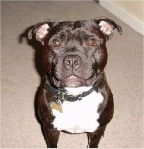 Top down view of a wide black and white Staffordshire Bull Terrier dog sitting on a carpet and looking up. The dog has a smile on his face that looks like the Joker from Batman.