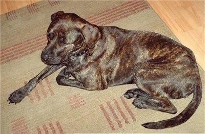 Sasha, a 3-year-old Staffordshire Bull Terrier / Bull Mastiff cross