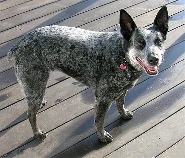 Side view - A gray, black and white Australian Stumpy Tail Cattle Dog standing on a wooden deck outside. It is looking forward, its mouth is open and it looks like it is smiling. It has large perk ears and a big black nose.