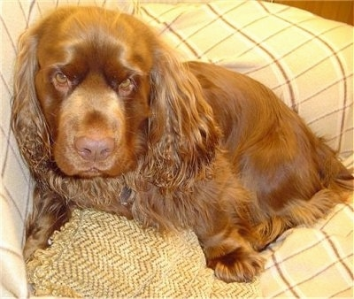 Close up - A brown Sussex Spaniel is sitting against the corner of a couch and it is looking forward. It has droopy brown eyes and long hair on its long drop ears.