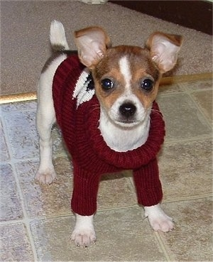 Front view - A tricolor, white with brown and tan Taco Terrier puppy is standing on a tiled surface, it is wearing a red with white and black sweater and it is looking forward. It has perk ears that fold over slightly at the tips.