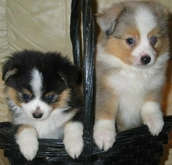 Australian Shepherd Puppies on Tea Cup Australian Shepherd Puppies At 3 Months Old  Courtesy